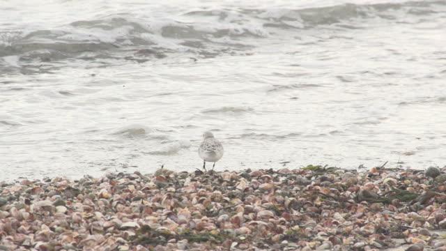 vidéos et rushes de oiseau restant sur le bord de l'eau sur des coquilles - bivalve