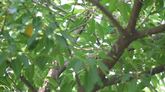 A bird Taiwan Barbet singing, Megalaima nuchalis specie endemic to Taiwan A bird Taiwan Barbet singing in a tree, Megalaima nuchalis is a species endemic to Taiwan, garden at the Taiwan Daan Forest Park in Taipei-Dan animal limb stock videos & royalty-free footage
