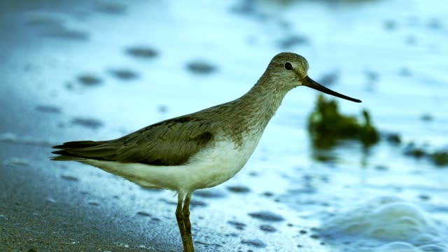 bird terek sandpiper ( xenus cinereus ) stands on a sandbank at the very edge of the water on a sunny summer morning. - ornitologia video stock e b–roll