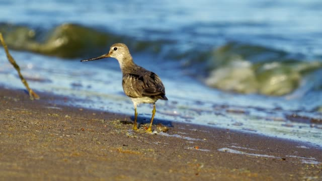 bird terek sandpiper ( xenus cinereus ) walks along the sandy shore and in shallow water at the very edge of the water on a sunny summer morning. - ornitologia video stock e b–roll
