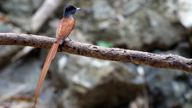 Bird (Asian Paradise-Flycatcher) , Thailand video