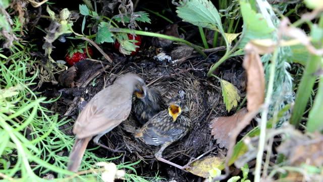 vogel das blaukehlchen fütterung küken und reinigung ein nest - nest stock-videos und b-roll-filmmaterial