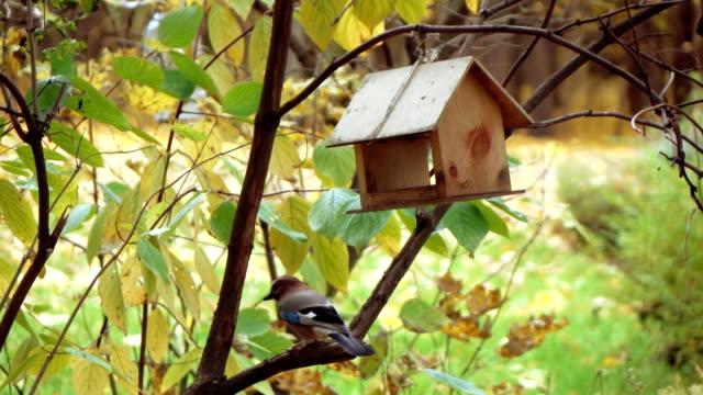Bird the jay in the bird feeder