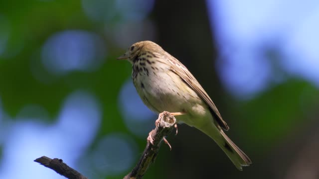 bird - tree pipit ( anthus trivialis ) sitting on on a dry felled tree and resting. - ornitologia video stock e b–roll
