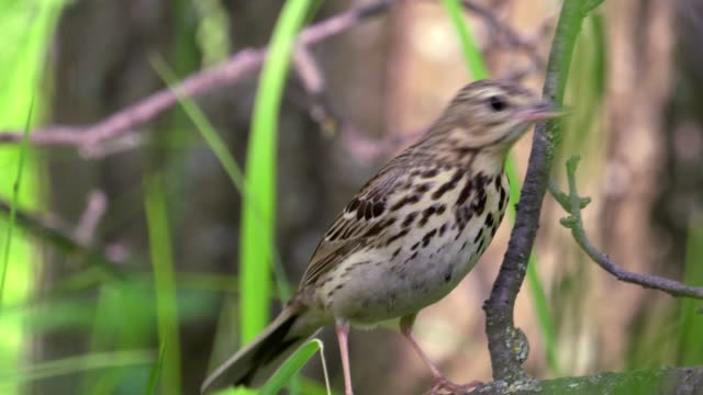 bird - tree pipit ( anthus trivialis ) walks on a dry tree. sunny summer morning in the forest. - ornitologia video stock e b–roll