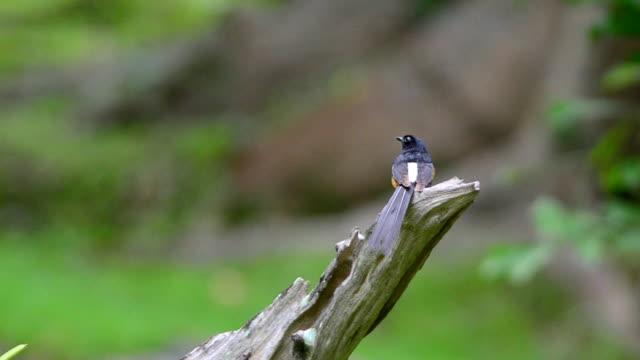 bird white-rumped shama - endemisch stock-videos und b-roll-filmmaterial