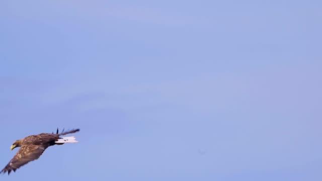 Bird - White-tailed Sea-eagle ( Haliaeetus albicilla ) in flight. Bird - White-tailed Sea-eagle ( Haliaeetus albicilla ) in flight. Slow motion. eagle bird stock videos & royalty-free footage