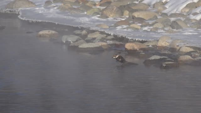 bird white-throated dipper cinclus cinclus  in water of altai river katun in winter time - merlo acquaiolo video stock e b–roll