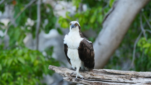 Bird wildlife: departure of Osprey in slow motion - Caribbean / Curacao Wildlife with Osprey on Caribbean island  of Curacao curaçao stock videos & royalty-free footage