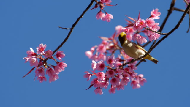 bird with cherry blossoms and blue sky , nature footage background - cherry blossom stock videos and b-roll footage