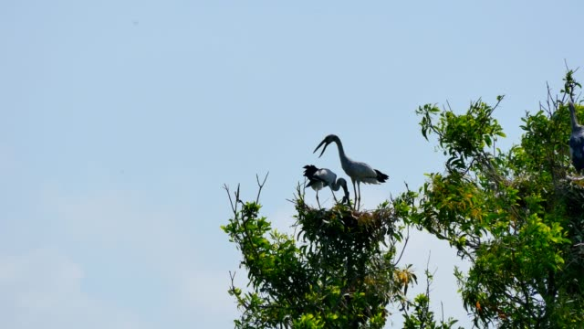 Bird (Open-billed stork) with flapper in a nest on tree. video