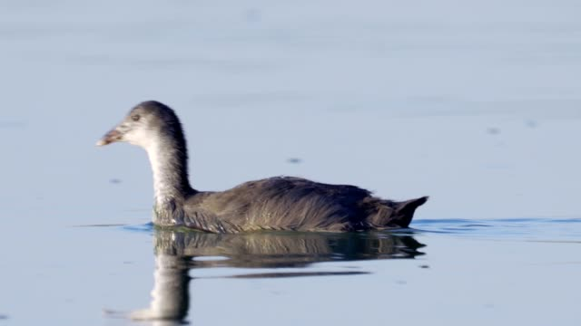 bird - young common coot ( fulica atra ) swim on the lake, dives the sunny summer morning. - ornitologia video stock e b–roll