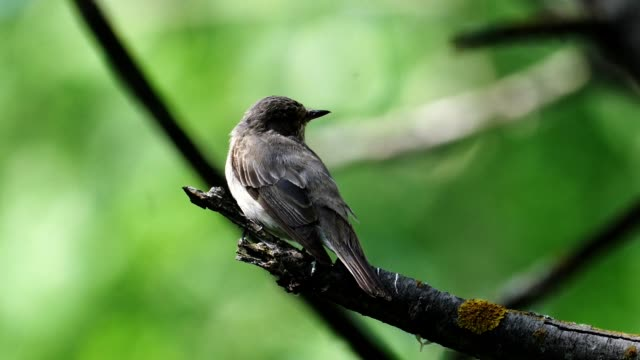 bird - young spotted flycatcher ( muscicapa striata ) sitting on an aspen branch. sunny summer morning in the forest. - ornitologia video stock e b–roll