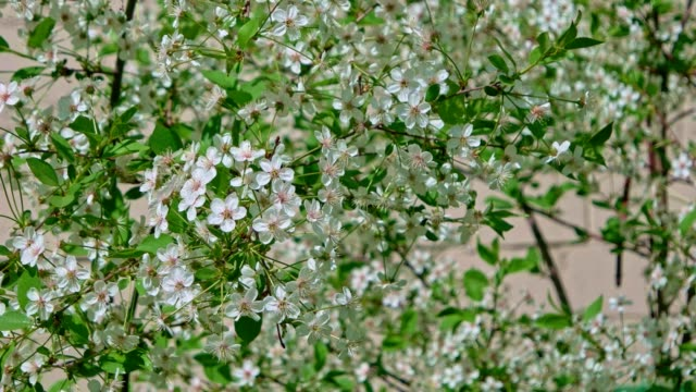 Birdcherry Tree Twigs Covered With Small White Flowers Stock Video