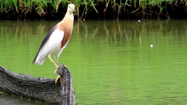 ヘロンバード、池、湖で、狩り - バードウォッチング点の映像素材/bロール