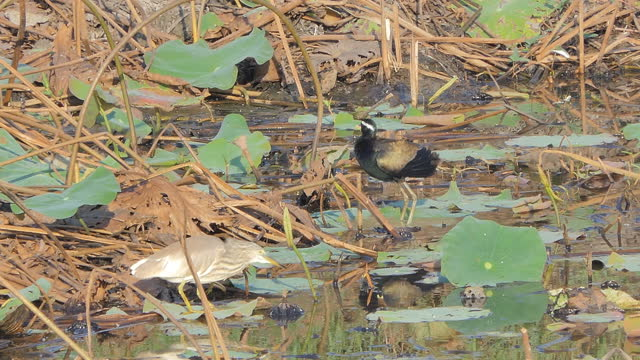 Birds are living in the wetlands. video