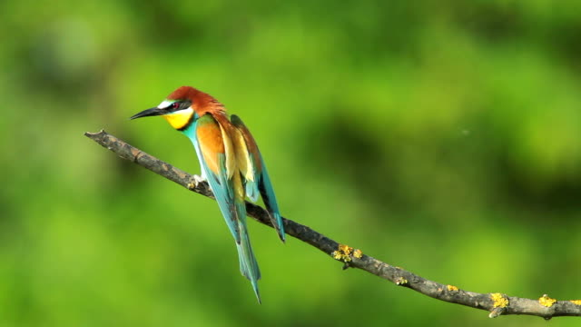 SLOW MOTION, Birds Bee-eaters landing on a branch and perching video