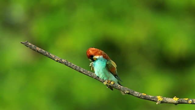 Birds Bee-eaters perching on a branch and hunting insects video