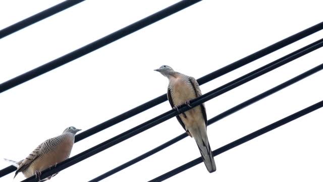 vidéos et rushes de oiseaux en parade nuptiale sur fil - se reposer