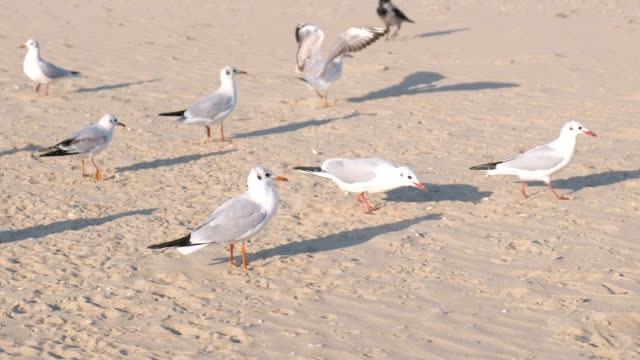Birds crows and seagulls eat bread on the sandy dune beach.