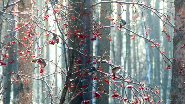 Birds (Bohemian Waxwing) eating ashberry on the frost video