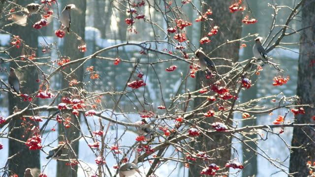 Birds eating ashberry video
