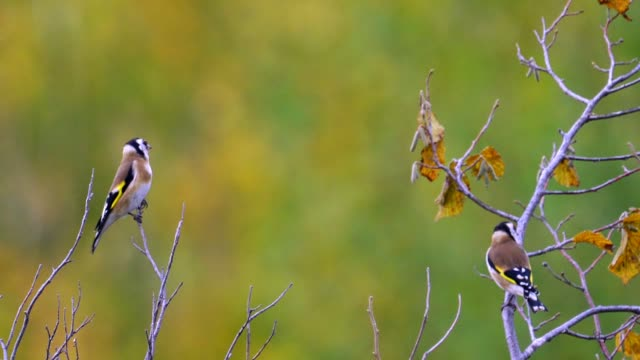 Birds - European Goldfinches ( Carduelis carduelis ) sitting on tops and resting.