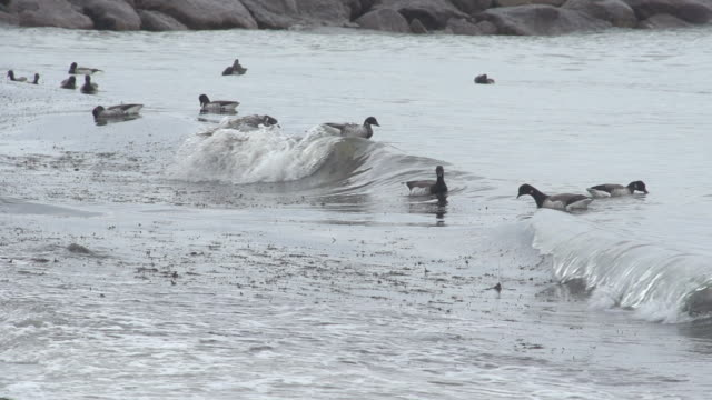 Birds Floating on Incoming Waves video