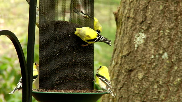 Birds Goldfinches at Feeder video