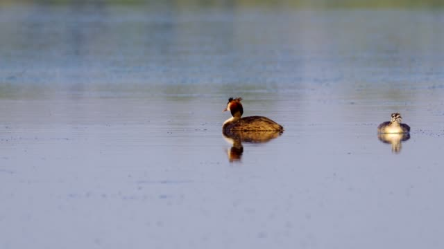 birds - great crested grebes ( podiceps cristatus ) and the chick is swimming on the lake on a sunny summer morning. - svasso video stock e b–roll