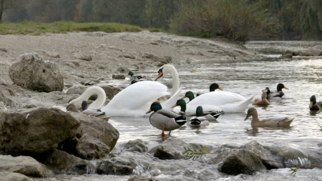 Birds in the water between stones video