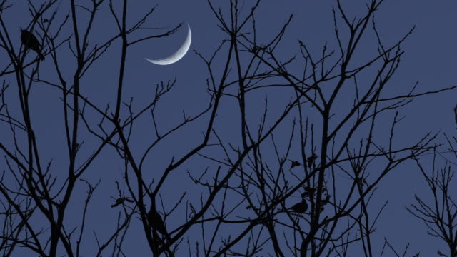 fåglar i träd silhuett mot night sky crescent moon - halvmåne form bildbanksvideor och videomaterial från bakom kulisserna