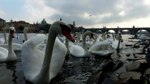 vögel in moldau - schwan stock-videos und b-roll-filmmaterial
