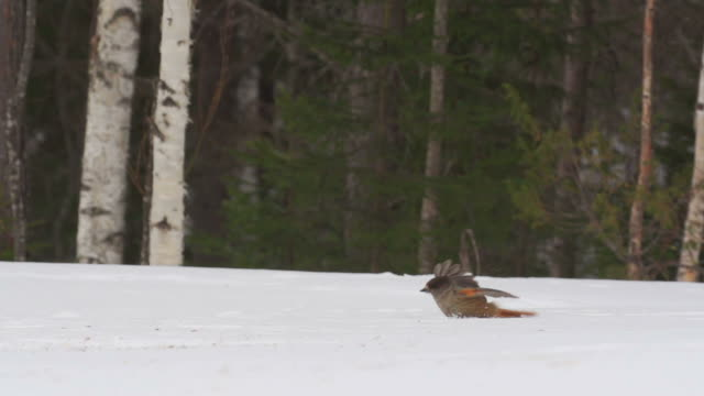 birds in winter video
