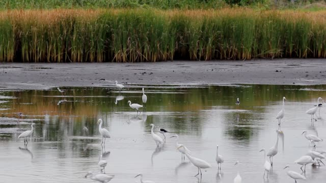 Birds looking for food in the lake in the nature.