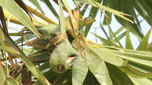 Birds making bird's nest on palm tree video