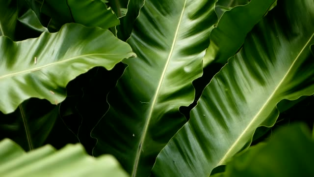 bird's nest fern, asplenium nidus. wild paradise rainforest jungle plant as natural floral background. abstract texture close up of fresh exotic tropical green fresh curly leaves in fantasy dark woods - obficie ulistniony filmów i materiałów b-roll