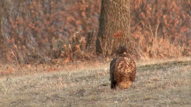 Birds of prey Buzzards feeding with carcass in the mountain video