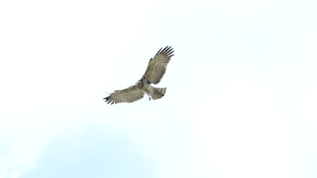 Birds of prey ,the eagle flying and hovering over the field. video