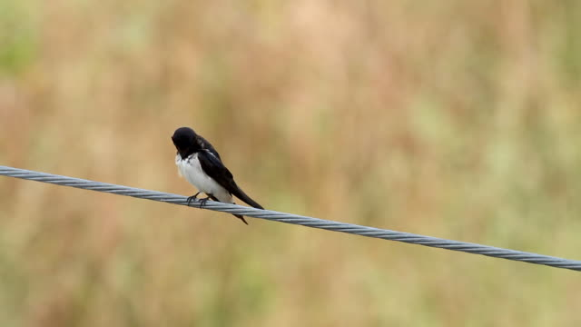 Birds on a electrical wire video
