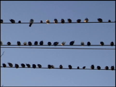 Birds on Wire 1 video