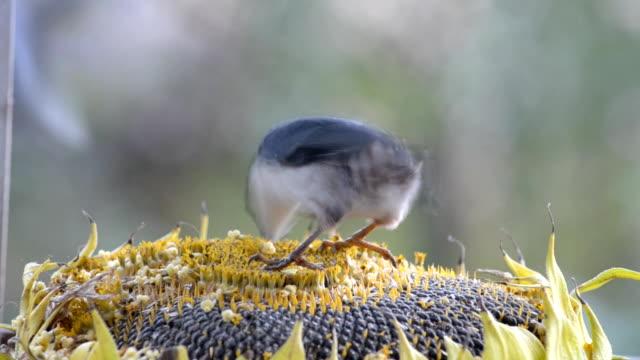 Birds pecking sunflower seeds from a sunflower lying in a manger. video