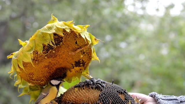 Birds pecking sunflower seeds video
