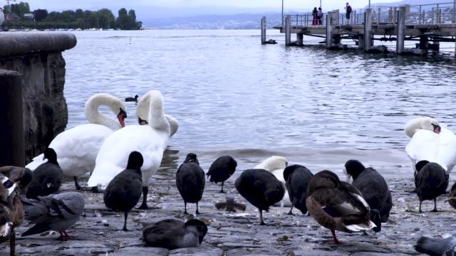 Birds sit on the edge of lake Zurich while urban sprawl happens around them