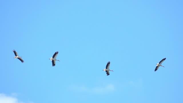 Birds storks video