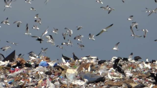 Birds Swarming Over A Landfill video