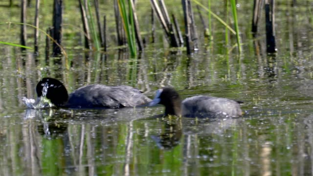 birds - two common coot ( fulica atra ) quickly swim on the lake in the early summer morning. - ornitologia video stock e b–roll