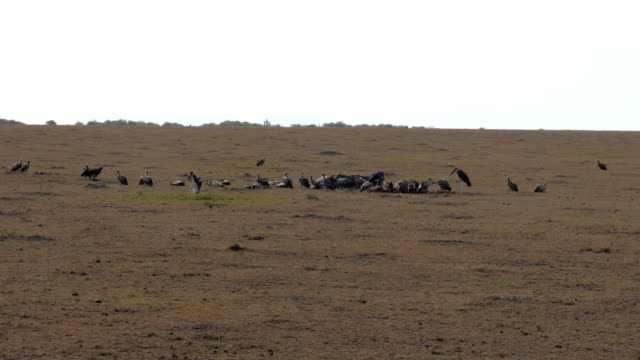 Birds Vultures Eat A Dead Animal In The African Savannah video