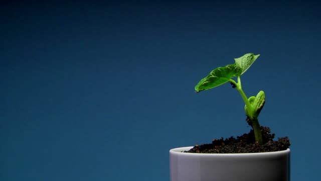 Birth and growth of a bean plant in timelapse