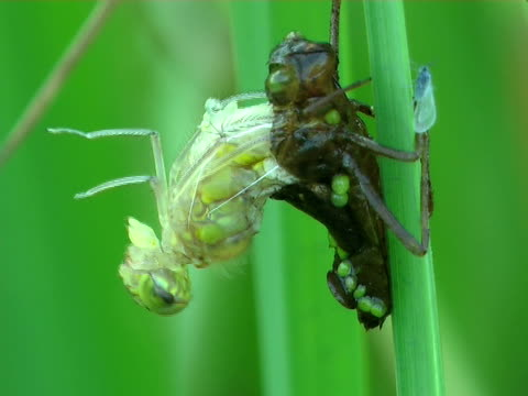 Birth of a dragonfly Birth of a dragonfly larva stock videos & royalty-free footage